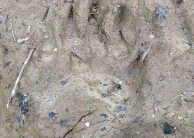 Bear Claw Track in Transylvania
